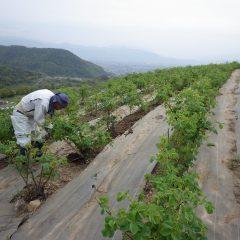 農場ではローズ畑の除草作業が続けられています