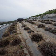 綺麗になったラバンジンの畑