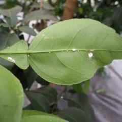 茂った葉の裏にはカイガラムシも発生中