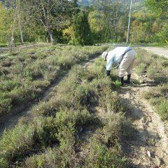 タイム・ブルガリス畑の除草作業が行われています