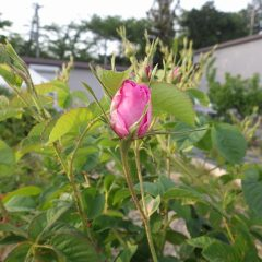 GW明けから次々に咲き始めると思います