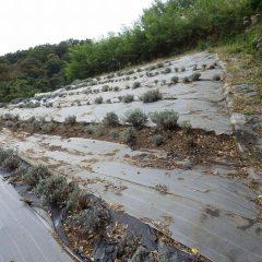 植え替え作業が続いているラベンダー畑