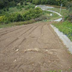 傾斜地にあるカモマイル・ジャーマン畑