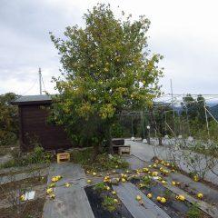 台風一過、カリンの実が落ちてしまいましたがハーブには大きな被害もなくひと安心!