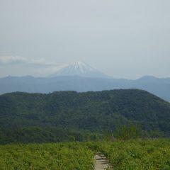 夏日になった農場は雪融けの進んだ富士山が霞んで見えました