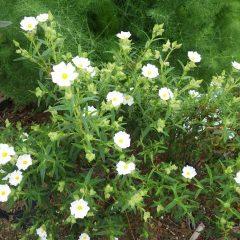 ロックローズの花も咲き始めました