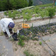 ペパーミントの除草作業中