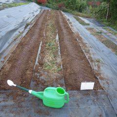 何とかカモマイル・ジャーマンの種を蒔いて灌水して完了