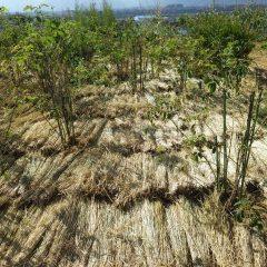事務局前のローズ畑に防寒と雑草予防の目的でワラを敷き詰めました