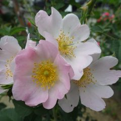 ドックローズの花が咲きました