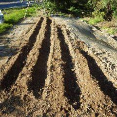 最後の種蒔きをする為に畝を掘りました