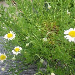 カモマイル・ローマンが咲き始めています