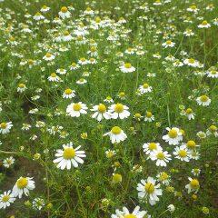 カモマイル・ジャーマンは収穫した後に残っていた蕾が咲いています