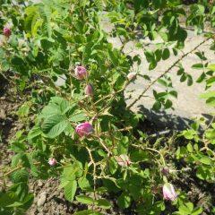 明日朝の開花を待っている沢山の蕾