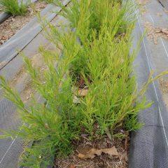 ティートゥリーの新芽もグングン伸びています
