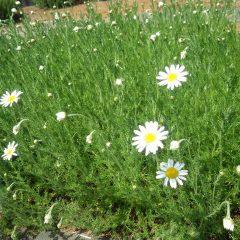 カモマイル・ローマンはジャーマン種に比べ花数は少ないものの大きな花に存在感があります