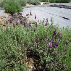 事務局横のラベンダー畑でラベンダー・ストエカスが咲き始めました