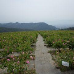 農場ではバラが本格的に咲き始めました