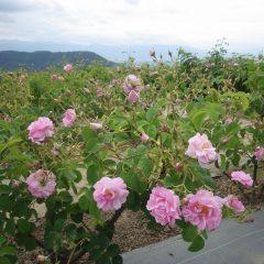 沢山の花を咲かせているローズ