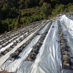 新しく整備したラベンダー畑