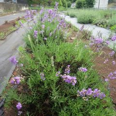 ラベンダー・イネーネドイルの花が雨に打たれています