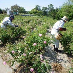 早朝から昼過ぎまで花の摘み取りに追われています