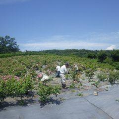 休憩を挟んで青空が広がったこちらの畑の摘み取り開始!