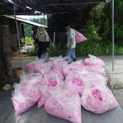 本日は午前7時から12時までで約98kgの収穫でした