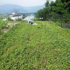 ドクダミ畑の除草作業中