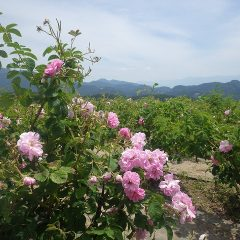 蕾は残っていないものの摘み取られずにのんびりと咲いているローズ・ダマスケナ