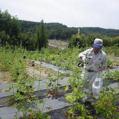 ブラックマロウの収穫作業中