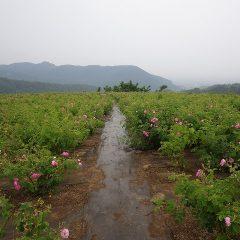 雨に煙る農場のローズ畑
