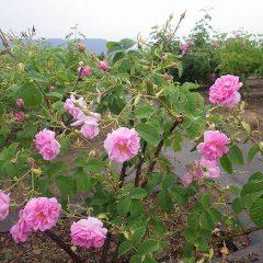 雨の重みで首を垂れているローズの花