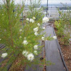 雨の中、ティートゥリーが咲き始めました