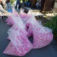 100kgオーバーの花を摘み取ってひと休み