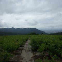 収獲の終わったローズ畑には重苦しい厚い雲が垂れ込めています
