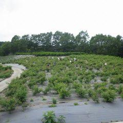パラパラと雨の降るローズ畑で今日も花の摘み取り作業が行われています