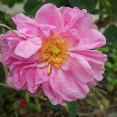 雨粒の溜まった花びら