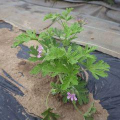小さいながらもポツポツ花を咲かせているローズゼラニウム