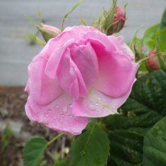 開き掛けている蕾にも雨粒が溜まっています
