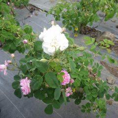 下の枝はピンクの花が咲き、枝変わりの白い花を見つけました