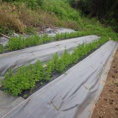 移植したスペアミントは新しい畑で元気に育っています
