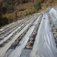 整備したラベンダー畑