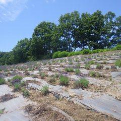 夏の日差しをいっぱいに浴びるラベンダー・アングステフォリア畑