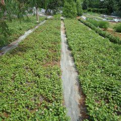 ドクダミの収穫作業