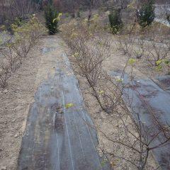 清掃の終わったローズ畑