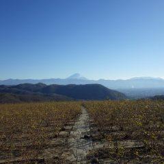 今日も冬晴れのローズ畑
