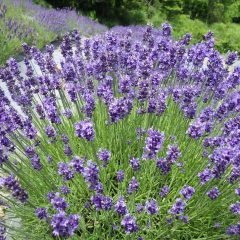ノウシ(濃紫:早咲き3号)は満開の収穫時期を迎えました