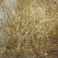 風が吹くと種がこぼれます