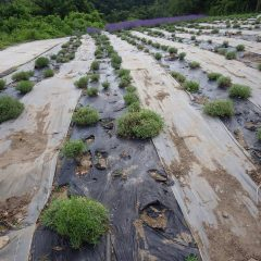 収獲の終わったラベンダー畑